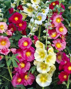 Old-fashioned Hollyhocks- just gorgeous- hollyhocks are one of my all time favorites- perfect for a 'cottage' garden.