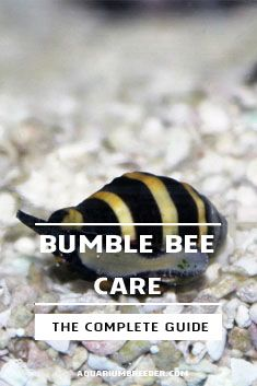 Bumble Bee Snail Engina Mendicaria Detailed Guide Care Diet And Breeding Bumble Bee Bumble Snail