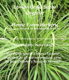 Lemon Grass Heirloom Seeds, BUY 1 OR BUY 3 & GET 1 FREE, Order now, FREE shipping