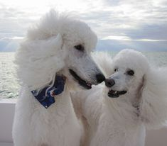 Oodles of Poodles — dogmart:    Touching (52/52) -  My Two Dogs by...