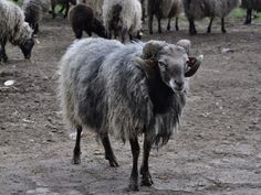 The Wrzosówka is the only surviving primitive sheep breed in Poland. Belongs to the Northern type of short-tailed sheep