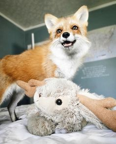 DOMINO:a lesson in facial expressions with juniper the fox