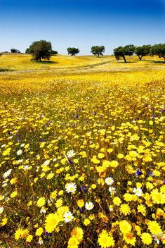 Wild Flowers Inspiration : Spring in Alentejo, Portugal - Flowers.tn - Leading Flowers Magazine, Daily Beautiful flowers for all occasions Image Nature, Nature Images, Nature Pictures, Wild Flower Meadow, Wild Flowers, Wildwood Flower, Bloom Where Youre Planted, Flower Landscape, Summer Landscape