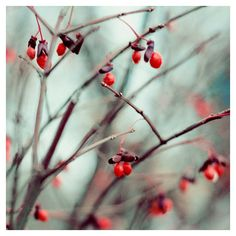 25 Wonderful Pictures of Red Winter Berries ❤ liked on Polyvore featuring backgrounds, flowers and photo