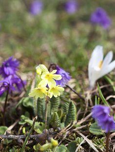 Die Schlüsselblume umgibt sich gern mit Krokussen, Leberblümchen, Buschwindröschen und Zwiebelblumen (Foto: istock/landschaftsfoto)