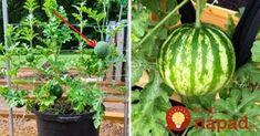 Perfektný tip, ako dopestovať obľúbené letné ovocie na malom priestore – v obyčajných kvetináčoch, pokojne aj na balkóne či terase. Watermelon, Pergola, Pumpkin, Gardening, Good Things, Fruit, Vegetables, Plants, Outdoor