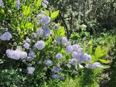 Growing the Blue Blossom Ceanothus