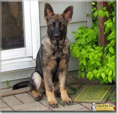 This looks exactly like my new dog, Ori! Read Zacara's story the German Shepherd Dog from Ontario, Canada and see her photos at Dog of the Day http://DogoftheDay.com/archive/2013/April/13.html .