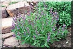 Ha nincs a kertedben zsálya, mindenképp ültess egyet, mert megmentheti az… Plants, Herbs, Herb Garden, Salvia, Garden