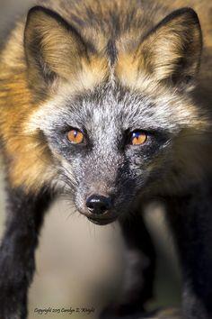 Red Fox Stare-Copyright Carolyn E. Wright