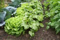 Bien associer les légumes au potager : Tableau des légumes : quel légume aime la proximité de quel autre, ou au contraire doit en être éloigné ?