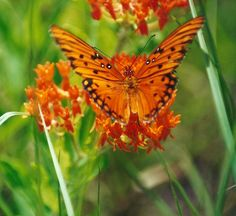 Butterfly Weed...a gorgeous neon orange