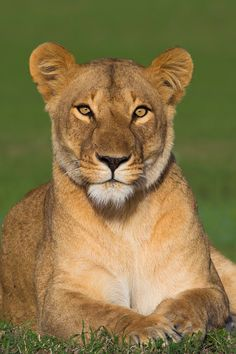 Portrait of Lioness (Panthera leo), Maasai Mara National Reserve, Kenya, Africa - 600-06752431 © Christina Krutz Model Release: No Property Release: No  Portrait of Lioness (Panthera leo), Maasai Mara National Reserve, Kenya, Africa