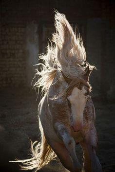 Horse / Berber Simsim -  photo by Christiane Slawik