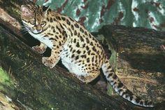 Gato-do-Mato-Maracajá Instituto Rã-bugio para Conservação da Biodiversidade