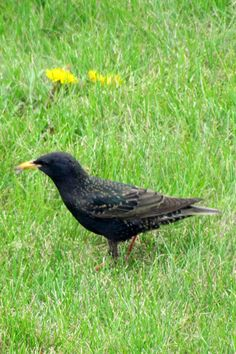 First European Starlings of the season -- a whole flock landed in my front yard to pick through our lawn. So shiny & colorful--gold beak, red legs, green & purple hues with lovely speckles.  Funny to think that in a month or so they'll be back to browns and blacks again until next spring! 5-6-12