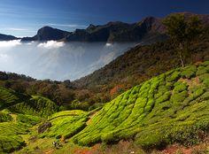 Tea plantations in Kerala, #India (Maxim Kiryushin/ My Shot)