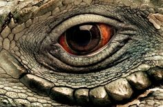 The eye of a Grand Cayman blue iguana