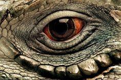 The eye of a Grand Cayman blue iguana