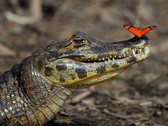 Wow! Krokodil und Schmetterling — Bild: Shutterstock / zahorec  www.einfachtierisch.de