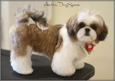 Female Shih Tzu puppy 5 months old Asian . The post Female Shih Tzu puppy 5 months old Asian Fusion teddy bear style, dog groomer in& appeared first on Dogs and Diana. Shih Poo, Shih Tzu Hund, Shih Tzu Puppy, Shih Tzus, Pekinese, Puppy Cut, Dog Haircuts, Cat Grooming, Havanese Grooming