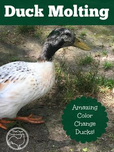 Ducks are pretty hard core molters! You won't believe the difference a molt can make! Backyard Ducks, Backyard Poultry, Backyard Farming, Backyard Chickens, Raising Ducks, Raising Chickens, Building A Chicken Coop, Diy Chicken Coop, Chicken Coup