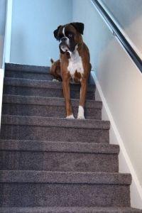 Weer een tevreden klant van trap-bekleden.nl Paws And Claws, Living Room Carpet, Sisal, Chihuahua, Cute Animals, Stairs, Puppies, Pretty Animals, Stairway