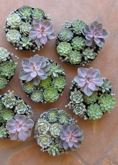 succulent centerpieces with Echeveria 'Perle von Nurnberg', Pachyveria glauca 'Little Jewel', Sedum spathulifolium 'Capo Blanco', etc. Propagating Succulents, Succulent Gardening, Succulent Terrarium, Container Gardening, Succulent Display, Indoor Gardening, Succulent Centerpieces, Succulent Arrangements, Floral Arrangements