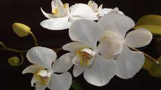 Por que minha orquídea tem as folhas amarelas. A orquídea é uma flor bonita e muito delicada, que precisa de muitos cuidados para se manter sempre bonita. Precisa de uma temperatura, irrigação e luz adequadas. Também precisa que a trate de imediat...