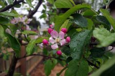 Apple Flower Perfect symetry