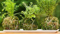 Kokedama plant balls on a tray.