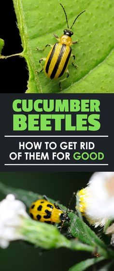 Do you have cucumber beetle problems? Find out how to destroy these major agricultural pests with our handy prevention guide! Slugs In Garden, Garden Insects, Garden Pests, Cucumber Beetles, Cucumber Plant, Organic Gardening, Gardening Tips, Urban Gardening, Vegetable Gardening
