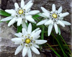Edelweiss (Leontopodium alpinum) is much loved as the traditional symbol of the Alps and the unofficial national flower of Switzerland. Best Flower Wallpaper, Nature Wallpaper, Edelweiss Tattoo, Hummingbird Plants, Alpine Garden, Botanical Flowers, Flower Pictures, Dream Garden, Geraniums