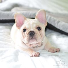 """French Bulldog Puppy❤️ @lintonlegend: """"I am here to make your day better"""" #cutepetclub"""