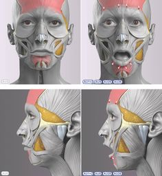 Anatomy Drawing Female Anatomy of Surprise Face Muscles Anatomy, Facial Anatomy, Head Anatomy, Human Anatomy Drawing, Human Body Anatomy, Anatomy Poses, Anatomy Art, Anatomy Of The Face, Muscle Anatomy