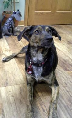 Meet Emma a Petfinder adoptable Shepherd Dog | Saukville, WI | Updated: 3-24-14Litter Name: Dukes of HazardEmmaFemaleShepherd mixYoung, 10 months oldHi my name is...