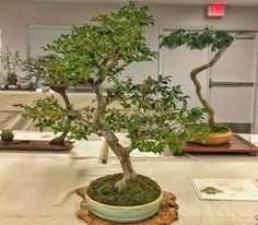 Jaboticaba On Of The Trees Bonsai Society Southwest Florida S Annual Show