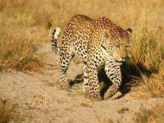 Your African Safari South Africa Wildlife, Panthera Pardus, Okavango Delta, Game Reserve, Domestic Cat, African Safari, Safari Animals, Big Cats, Creatures