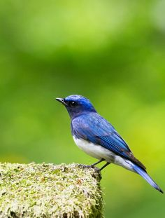 Blue-and-white flycatcher (Cyanoptila cyanomelana)  オオルリ〜ウグイス、コマドリとともに「日本三鳴鳥」のひとつ
