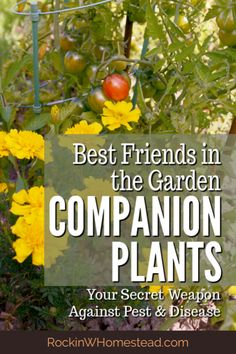 Companion plants like being together, they are best friends in the garden. Get the companions for 10 of your favorite vegetable garden plants. Companion Gardening, Cucumber Companion Plants, Garden Plants Vegetable, Planting Vegetables, Garden Pests, Vegetable Ideas, Gardens, Gardening, Companion Planting