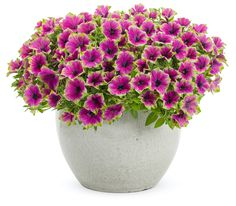 You won't find more outstanding Petunias than Supertunias like Picasso in Purple® from our friends at Proven Winners! They're self-cleaning and relentlessly covered in blooms—which means all season color with minimal effort! They're available in a broad palette of colors and several different types. Whether you choose single, double, Vista, or Mini Vista Supertunias, they're all light years ahead of any other petunia on the market. #supertunias #provenwinners #gardenanswers Purple Petunias, Pink And Purple Flowers, Green And Purple, Little Free Libraries, Free Library, Bodhi Tree, Proven Winners, Plant Identification, Annual Plants