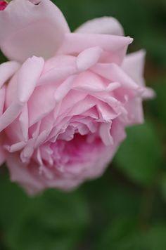 English Shrub Rose: Rosa 'Wife of Bath' (U.K., 1969)