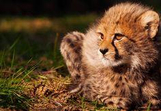 Cheetaprojecten   Stichting SPOTS Steun de projecten om de cheeta in het wild te steunen.