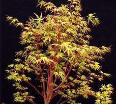 Tree coral bark height maple