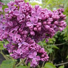 Flieder Syringa vulgaris 'Krasnaya Moskva' - Magentarote Flieder - Flieder-Premium Fliedertraum