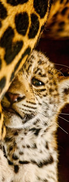 The cub hides now, but soon he will show the world what he is truly made of