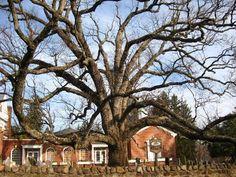 600 year old oak tree basking ridge presbyterian church - Google Search