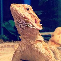 My lizard Dozo, the bearded dragon. Bearded Dragon, Snakes, Reptiles, Animals, Animales, Animaux, Snake, Animal, Animais