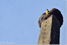 João de barro... Série: Aves