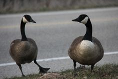 What do you think they are saying to each other? Note it is spring time and they are nesting beside the road.